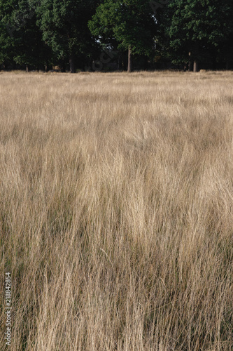 Dry long grass texture with woodland in the backdrop