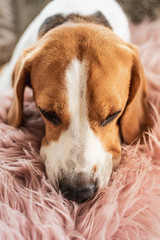 Beagle dog sleeps on sofa indoors Head closeup