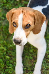 Cute beagle dog look up on grass outdoor