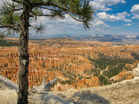 Panoramic view of Bryce Canyon National Park with a conifer tree in front of the orange spire-shaped rock formations called hoodoos, Utah, USA