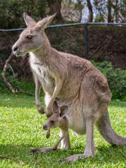 Foto op Aluminium Kangoeroe Female Kangaroo with Her Joey in Her Pouch, Australia