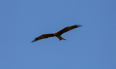 Bird of prey - clear blue sky