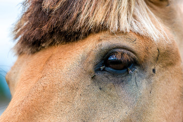Closeup of a horse's eye with lots of fly.