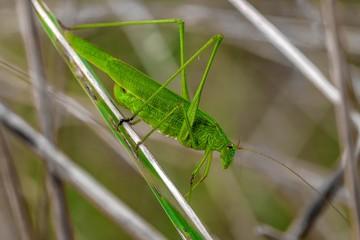 pasikonik zielony owad