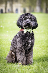 cockerpoo in dicky bow