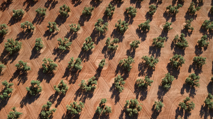 aerial view of olive trees in Andalusia