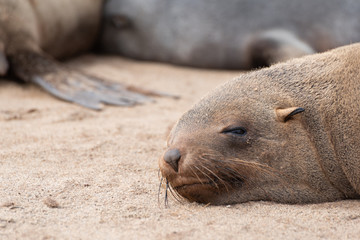 Brown seal sleeping on the coast sand with eyes half open