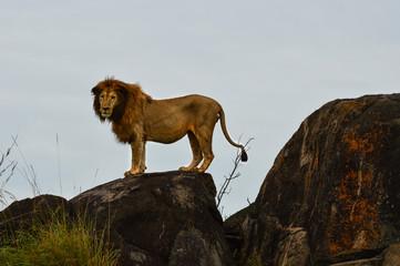 Männlicher Löwe auf Felsen mit direktem Blickkontakt 3; Kidepo Valley National Park, Uganda