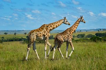 Zwei Giraffen laufen durch weitläufige Savanne; Murchison Falls National Park, Uganda