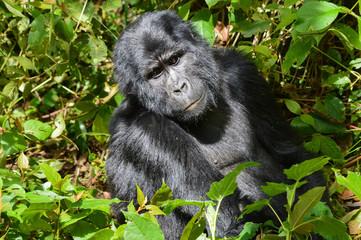 Berggorilla 2; Bwindi Forest Impenetrable Forest National Park, Uganda