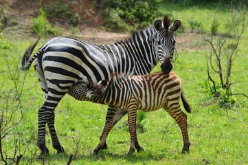 Zebra säugt Jungtier; Lake Mburo National Park, Uganda