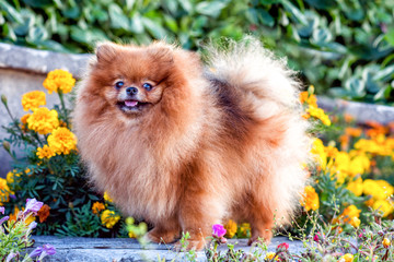 Cute small Pomeranian doggy in flowers in summer, smiling.