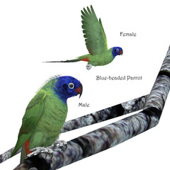 Blue-headed Parrot - The Blue-headed parrot is a noisy bird from Central and South America and eats fruits and seeds.