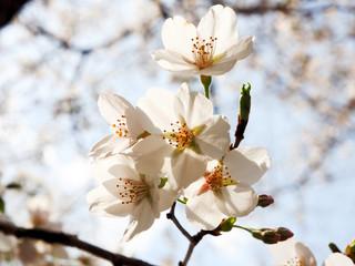 Tokyo Spring Sakura