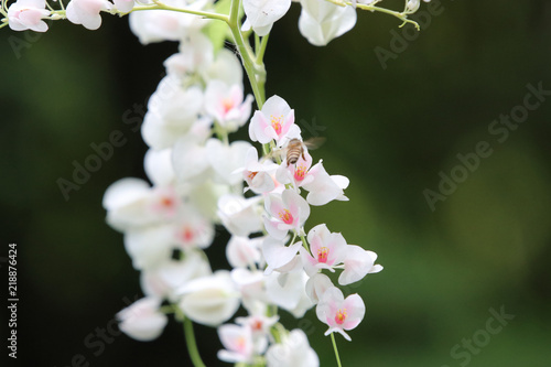 White flowers mexican creeper coral plant with insect beautiful and white flowers mexican creeper coral plant with insect beautiful and freshness in nature background mightylinksfo