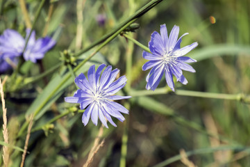 Flowers of Common chicory. Blue daisy flowers on a meadow (Cichorium intybus)