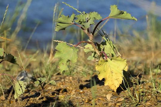 Stem and leaves of common cocklebur (Xanthium strumarium)