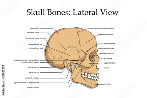 human skull, medical poster, anatomical medical chart poster human skull, skull  bones, poster for training residents in medical schools,