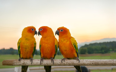 Three yellow parrots, Sun Conure (Aratinga solstitialis). Sunset background.