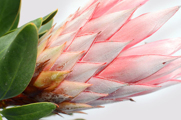 Red protea plant on white background