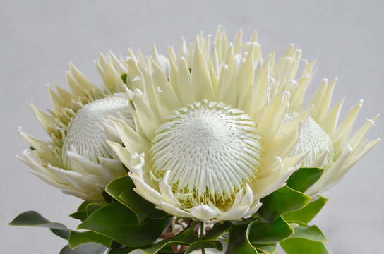 White Protea for background