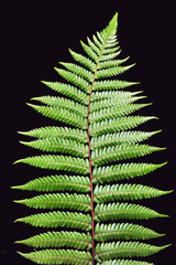 New Zealand Silver Fern isolated on black background