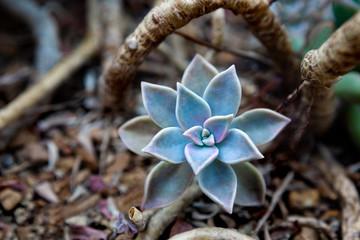 Succulent 32