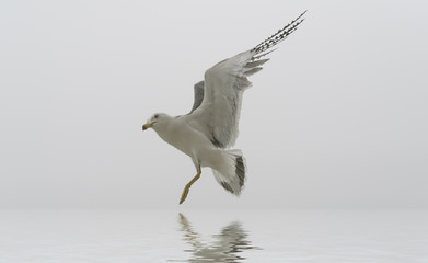 Flying seagull reflected in water surface.