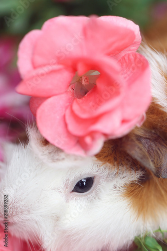 Guinea pig with pink flower on head stock photo and royalty free guinea pig with pink flower on head mightylinksfo
