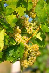 grape wine on Palava Vineyards, Czech Republic