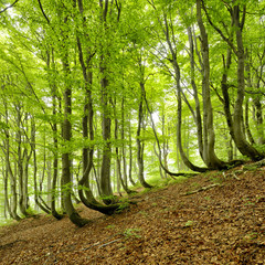 Natural Forest of Bent Beech Trees in Spring