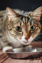 cat eat from meal, cat is sitting near bowl with food