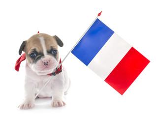Poster Bouledogue français puppy french bulldog