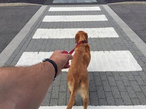 A point of view image of a pet Labrador retriever dog pulling hard on it's leash and pulling it's owner along behind over a street crossing.