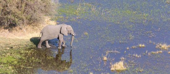 Elephant crossing water in the Okavango delta (Botswana)