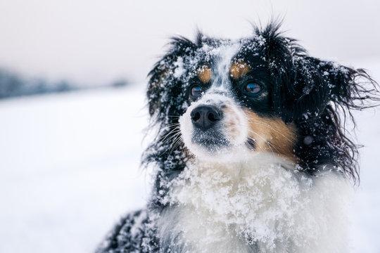 Nala the Miniature Australian Shepherd, Snow