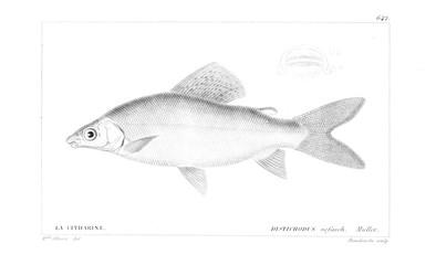 Illustration of fish