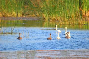 Swans family on lake