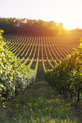 Papiers peints Vignoble vineyard with ripe grapes in countryside at sunset