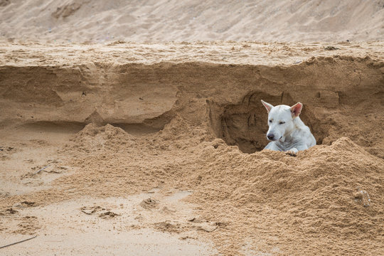 White dog digging a hole in the sand at the beach