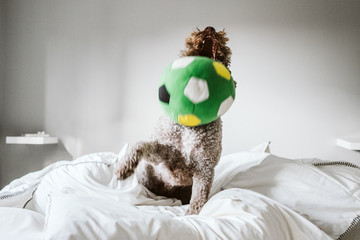 .Friendly Spanish water dog playing with his owner on the bed. Playing with a green plush ball. Funny time with pets. Lifestyle.