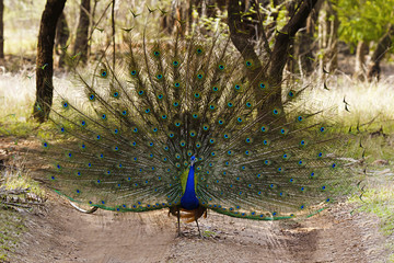 The Indian peafowl, Pavo cristatus, Ranthambhore Tiger Reserve, Rajasthan, India