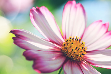 Pink cosmos flower isolated on green blur background.