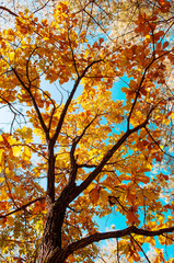 Yellow maple autumn leaves against sky. Gangwon, South Korea