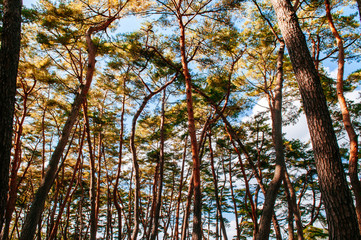 Natural autumn pine forest at Cheongryeongpo cape. Yeongwol, Gangwon, South Korea