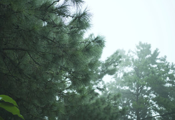evergreen conifers shrouded in mist and rain in a scenic landscape view.