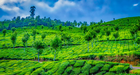 Landscape of tea plantations on the slope of a hill in Munnar, Kerala, India. Cloudy sky in the background.