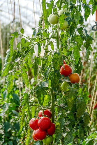 Tomaten Anbauen Im Gewachshaus Stock Photo And Royalty Free Images