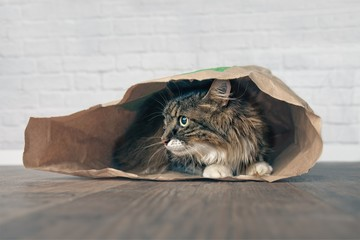 Maine coon cat lying in a paper bag and looking sideways.