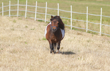 cute little shetland pony on pasture